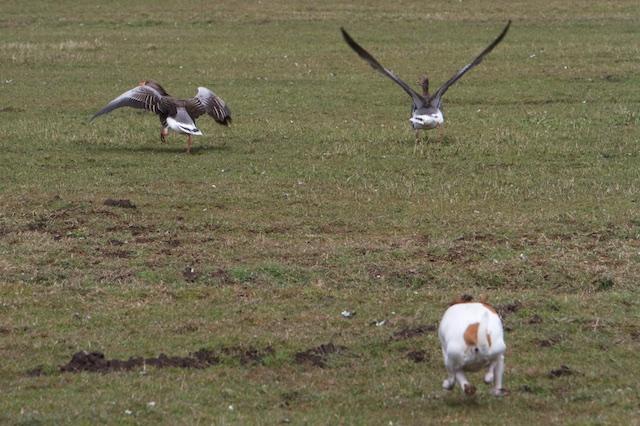 Plasdras verwaarloosd weiland met ganzenplaag, de 'echte' natuur van natuurclubs