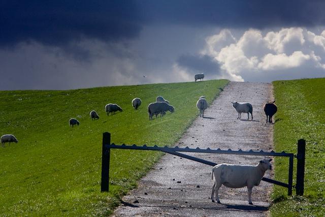 De bestuursvoorzitter van chemieconcerns begraast alleen revenue, de schapen begrazen gratis de dijken