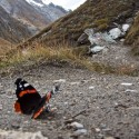 De Atalanta doet het overal bijzonder goed, hij trekt ook de Alpen over en leeft op brandnetels. Die zijn enorm in aantal toegenomen...