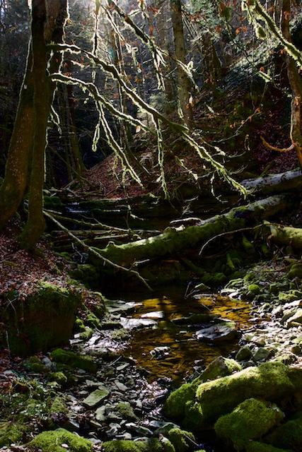 Een zijsprong van de Gauch ach leidt het woud in, met mos begroeide bomen