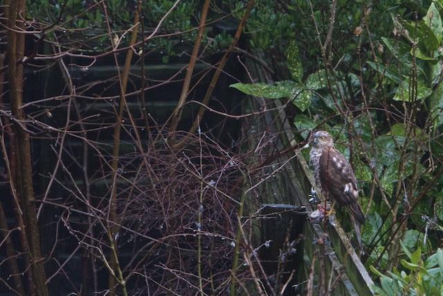 Een sperwer op bezoek in de achtertuin!