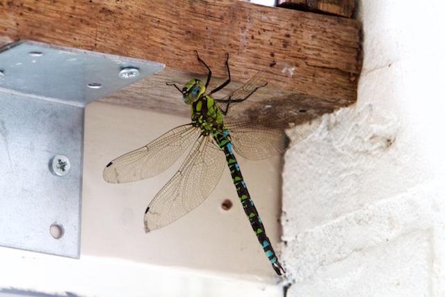 Nog zo'n oerbeest dat nog steeds vrolijk rondvliegt: welke soort is dit?