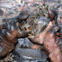 Mud fight hippos