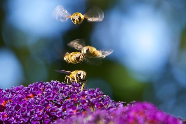 Zweefvliegen voor huis, bestuivers van de vlinderstruik. Je ziet meteen waarom ze zo heten