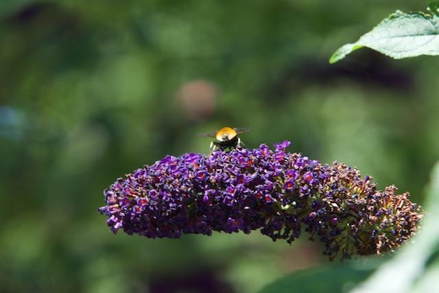 Een Apidae met geel achterwerk, welke soort is dit?