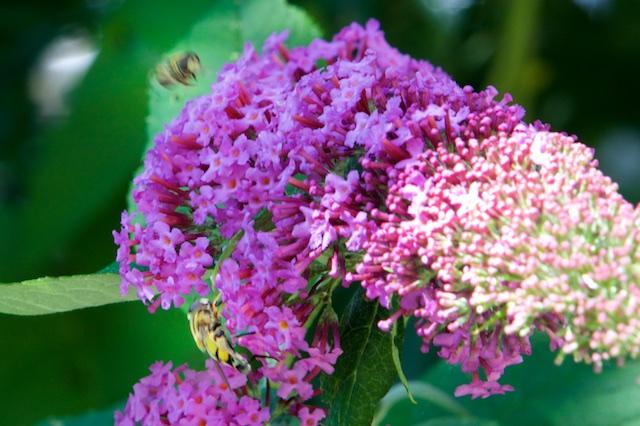 2 soorten zweefvliegen op mijn vlinderstruik