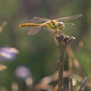 Bloedrode heidelibel, vrouwtje vanaf haar wachtpost van waaraf ze jaagt op insecten