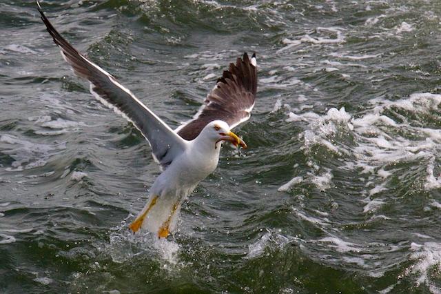 Nemen zeevogels door aanlandplicht af, dan krijgen vissers daar OOK de rekening van via de Kaderrichtlijn Marine met haar Good Environmental Status