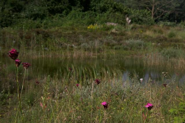Anjers in onbegraasde natuurterrein van Edo van Uchelen. Die kom je in overbegraasde natuurterreintjes niet tegen