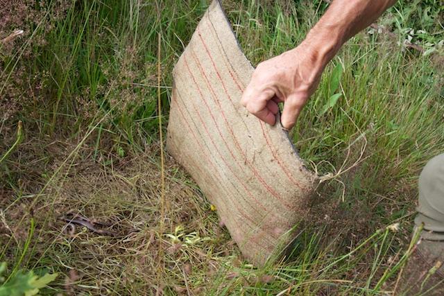 Suprise: hazelwormen, die eten mieren en mierenlarven. Hazelwormen staan weer op het menu van de gladde slang die hier ook voorkmt