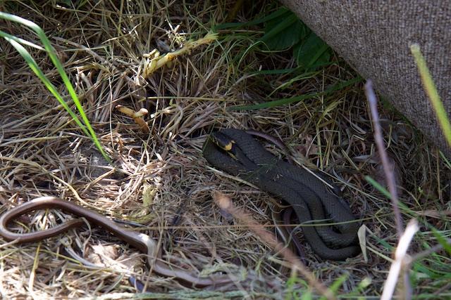 Overal in Edotopia liggen vloerkleed-matjes en dakpannen waar reptielen onder kunnen opwarmen. Dat doen ze graag, zoals deze hazelwormen en ringslang