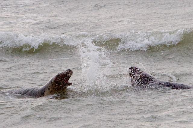 Enorme rovers, grijze zeehonden vallen ook bruinvissen aan en gewone zeehonden. Deze zag ik donderdag nog vanaf de vissersboot