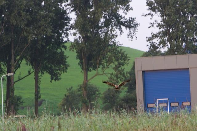 Bruine kiekendief jaagt ook in de Industrial Jungle