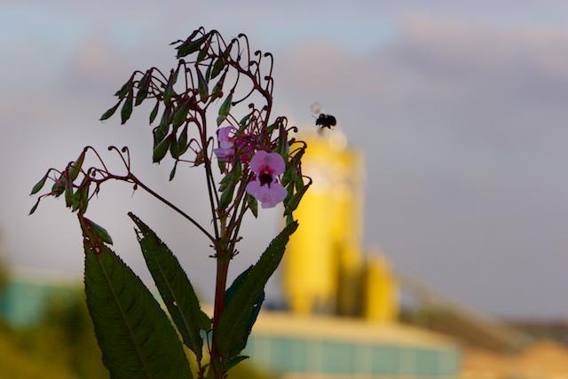 Nieuwste Natuur. De 'exoot' springbalsemien is een goede waardplant voor vele bijensoorten