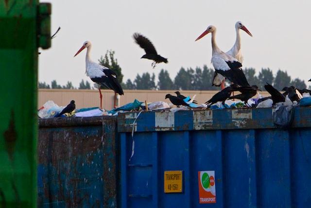 Ooiesjaggeraars azen op afval met roeken en kauwtjes