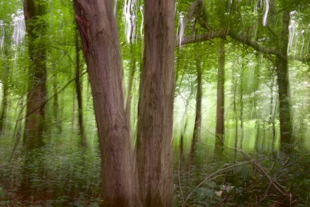 Het spookbos van High Wood met een eeuw oude haagbeuken en iepen