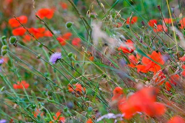 Knoopkruid tussen klaprozen, algemeen langs bermen in het departement van de Somme