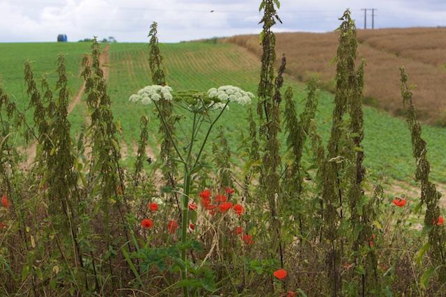 Doodnormaal in departement De Somme, kruidenrijke wegbermen. Een aanbeveling om hier ook te doen...