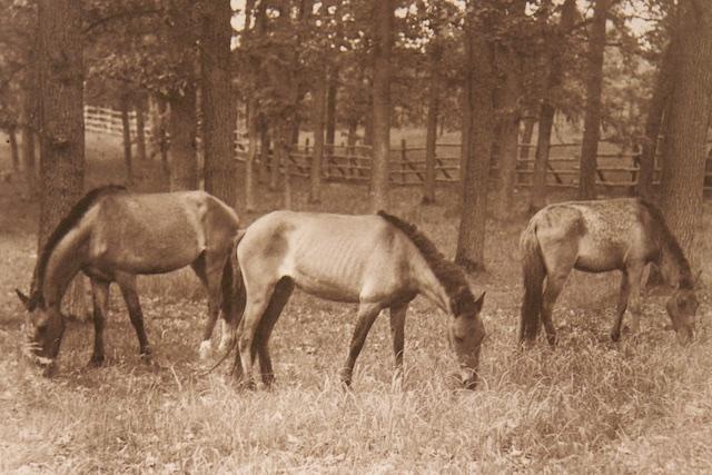 Goering herintroduceerde ook oerpaarden. Toen de Russen binnenvielen belanden deze in de Bolsjewistische veldkeuken