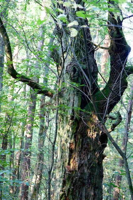 Volgens de Dauerwald-denkschool in de Duitse bosbouw zou bos 'gezonder' zijn als het meer een oerbos imiteerde met meer bomen van verschillende leeftijden