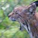 Rewilding is ouwe meuk, gaaap. De meeste 'wilde' lynxen in Midden Europa stammen nu af van uitgezette exemplaren in de jaren '70 in de Jura. In Noord Europa maken ze al jaren een sterke opmars, hier waren ze nooit uitgeroeid
