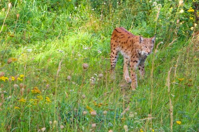 Een lynx, in de oertijd algemeen werd al vlot uitgeroeid op de Schorfheide. Moderne lynx-waarnemingen stammen allemaal van herintroductieprogramma's