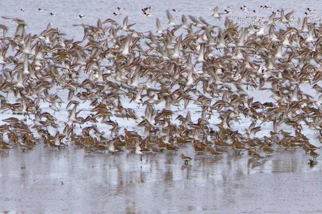 Bonte strandlopers in schrikreactie op roofvogel