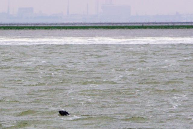 Grijze zeehond bij Balgzand