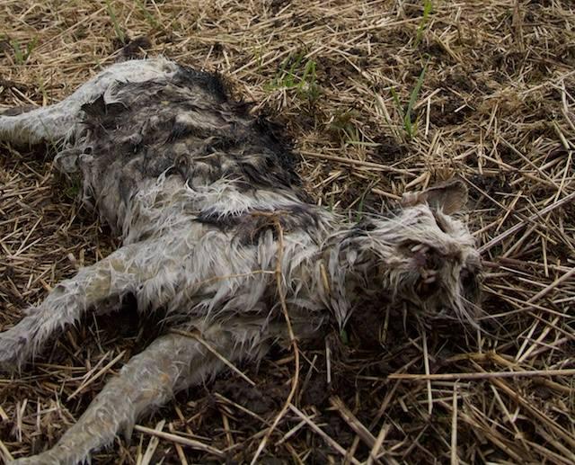 Schiermonnikoog heeft een wilde kattenprobleem, invasieve exoten die Natuurmonumenten weigert te bestrijden