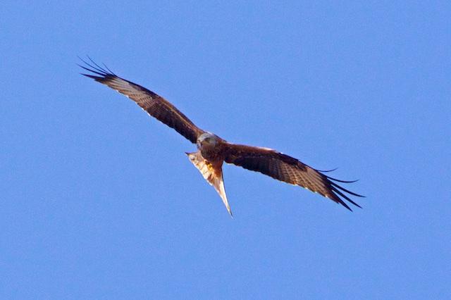 Levend is de rode wouw het mooist, red kite noemen de Britten hem: als een vlieger