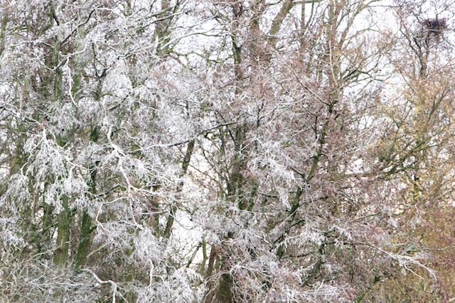Alsof de boom is besneeuwd, maar dan van de aalscholverschijt