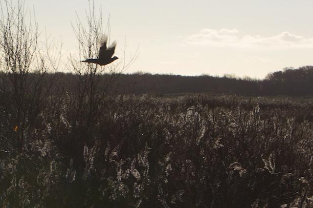 ..of deze fazant. Het wemelt nog van de fazanten op Schier. De afwezigheid van vossen moet hier een rol spelen