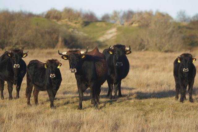 Wildernisvlees van Generaal Franco-runderen met geel oormerk