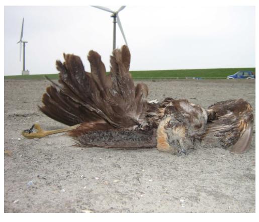 Door windturbines gedode 'beschermde' bruine kiekendief in de Eemshaven. Bron: Altenburg en Wymenga