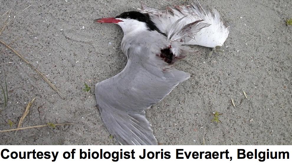 Uit de presentatie van Mark Duchamp. Een met Delfzijl Noord vergelijkbare windfarm bij Zeebrugge doodt in het broedseizoen per turbine meer dan 30 op papier beschermde zeevogels als visdieven