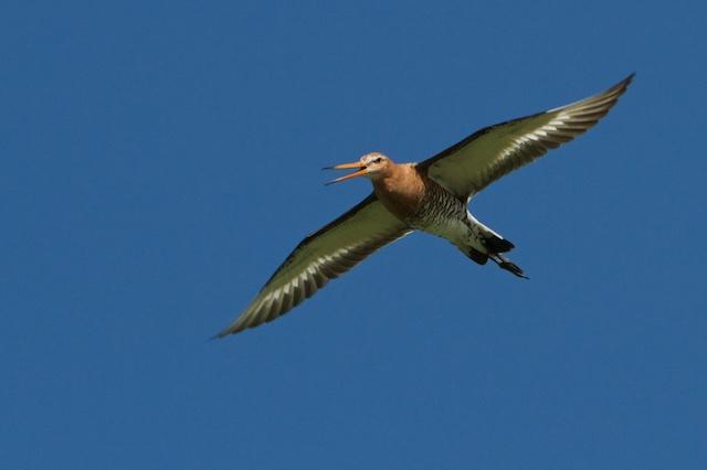 Vanwege het subsidieklimaat en een claim op andermans grond, roept Natuurmonumenten plots iets over weidevogels