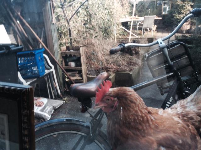 Kamerkakel Stientje, als ze los rondloopt tikt ze 's ochtends tegen het raam: waar blijft het graan?