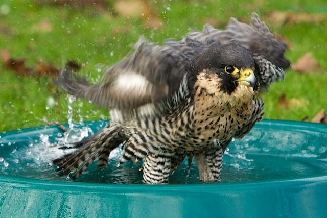 Wat een geniaal beest: valken nemen graag een bad en zijn schoon op zichzelf. Dit is wat mij echt boeit