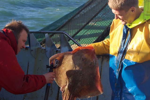 De jager en zijn prooi, in dit geval een 'in de Noordzee uitgestorven' stekelrog