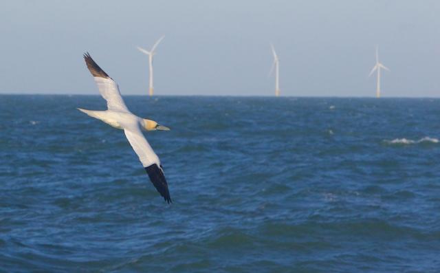 Vriend van de vissers, de Jan van Gent zoekt vergeefs naar voedsel/'discards' in Agenda 21-zeelandschap