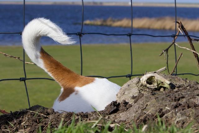 Trudy op zoek naar de konijntjes, het wemelt van de konijntjes op Wieringen