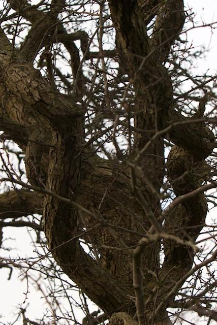 Oude meidoorn, voor zo'n boom kun je me altijd uit bed bellen