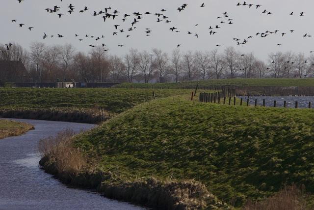Ganzentrek over oude Wieringerdijk: let op het verschil in waterpeil met Amsteldiep