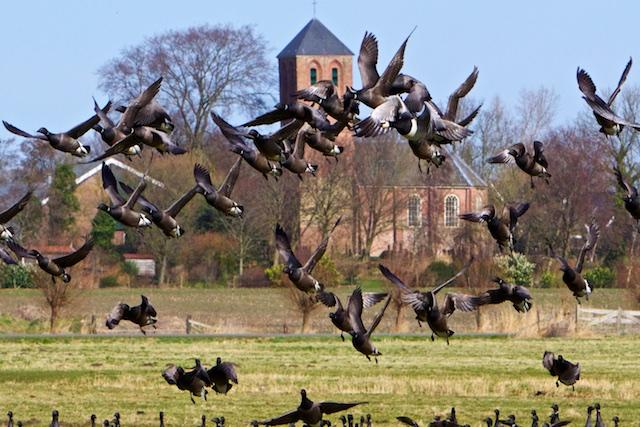 Rotganzen bij Westerland