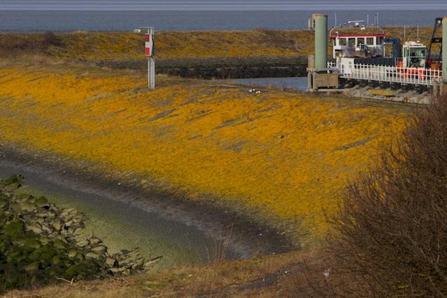 Een basaltdijk vol leven, vol knalgeel korstmos