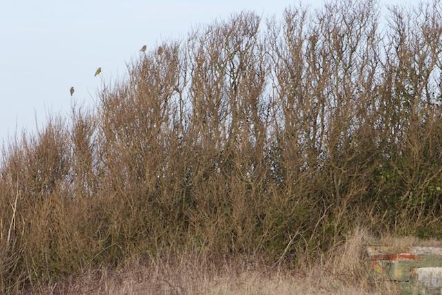 Groenlingen bij de kazematten-bosjes van liguster, wilde roos, meidoorn en vlier die aan de zaag van Rijkswaterstaat ontsnapten