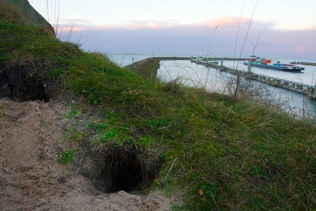 De konijntjes vestigden zich over Ecologische Verbindingszone De Afsluitdijk