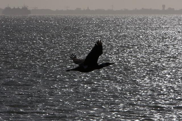 IN aantal ge-explodeerd plaagdier de aalscholver zal verder profiteren van Marker Wadden