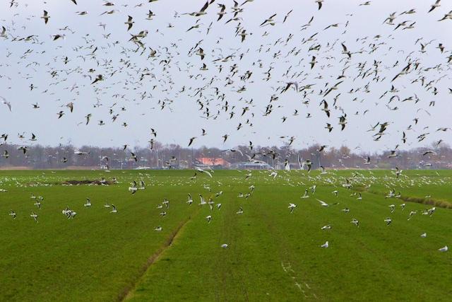 De nieuwe weidevogels van mestinjectie-land, kokmeeuwen vallen aan op bodemleven